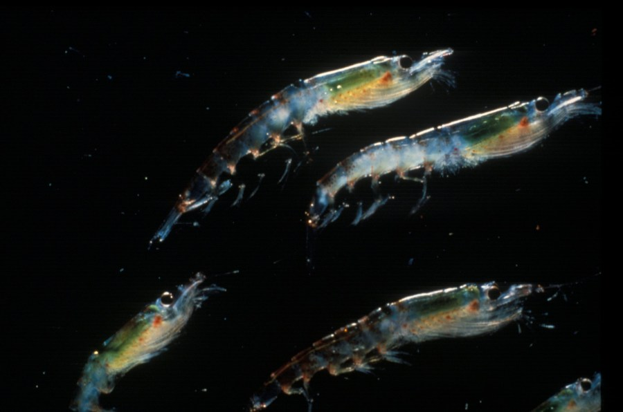 Antarctic krill (Euphausia superba). NOAA Photo Library