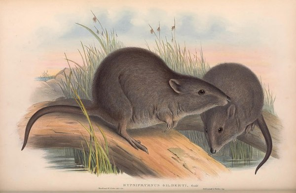 An illustration of the critically endangered Gilbert's potoroo. Wikimedia Commons