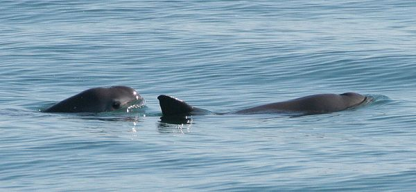 """Populations of the vaquita, which means """"little cow"""",  have dropped drastically in recent years. Paula Olson, NOAA"""
