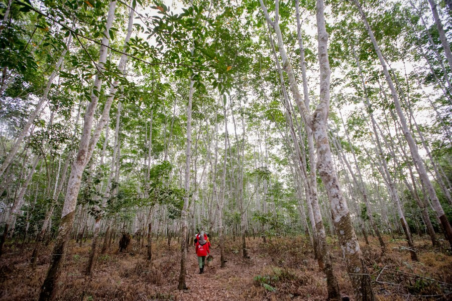 Rubber gardens in the Indonesian peatland swamp forests provide livelihoods for local communities. Rifky, CIFOR