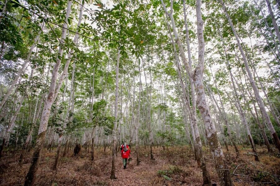 Plantaciones de árboles de caucho en las turberas de Indonesia ofrecen medios de vida a las comunidades locales. Rifky, CIFOR.