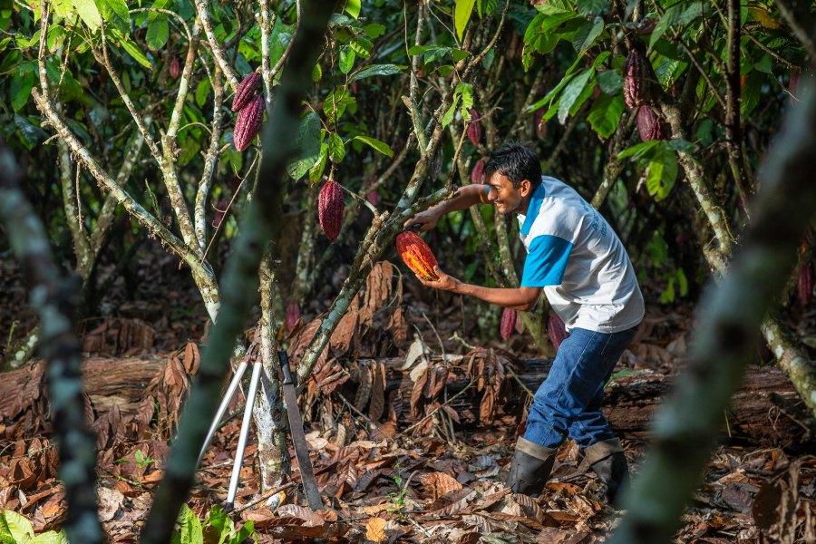 Farmer producing cacao in San Martín, Peru. Marlon del Aguila Guerrero, CIFOR