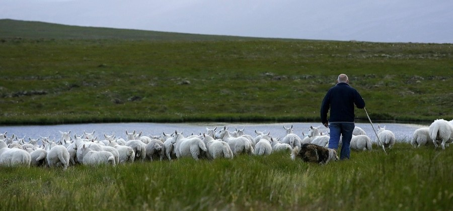 L'élevage de moutons dans les tourbières du Scottish Flow Country. A. Hay, The Flow Country