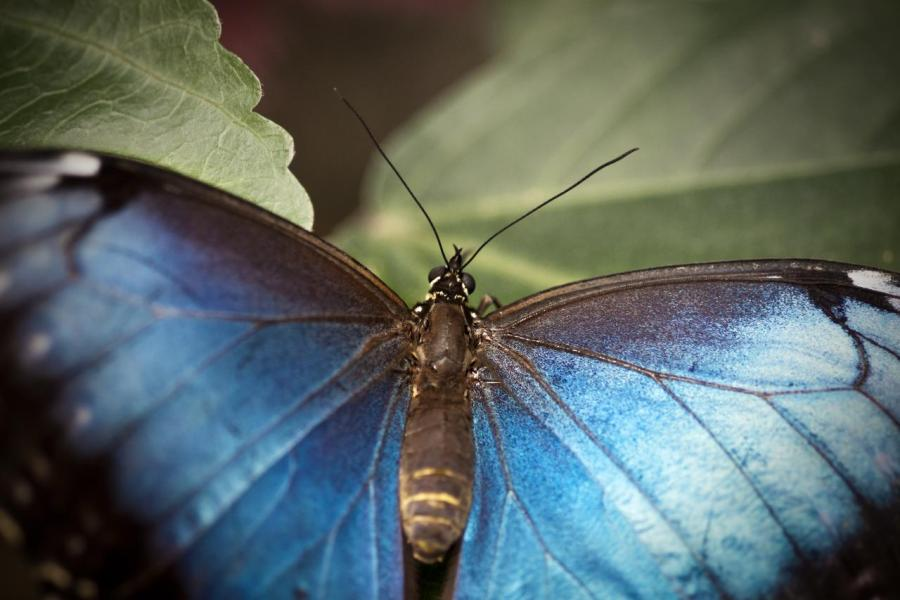 A blue morpho butterfly in the Missouri Botanical Gardens in 2010. Timothy K Hamilton, Flickr