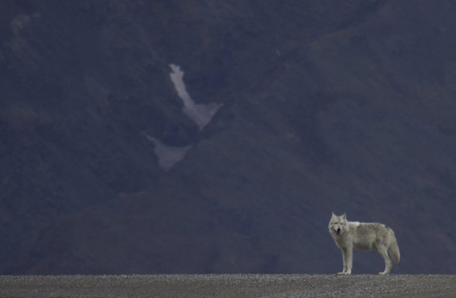 "A gray wolf on a road in Denali National Park and Preserve in Alaska. Gregory ""Slobirdr"" Smith, Flickr"