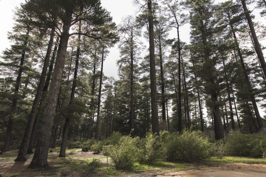 Una plantación de pinos en Victoria, Australia. Daniel Walker, Flickr