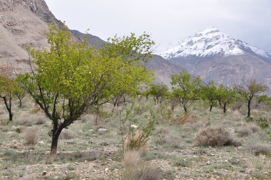 Drought-resistant fruit and nut trees growing in the dry reaches of Tajikistan. Bioversity International, B.Vinceti