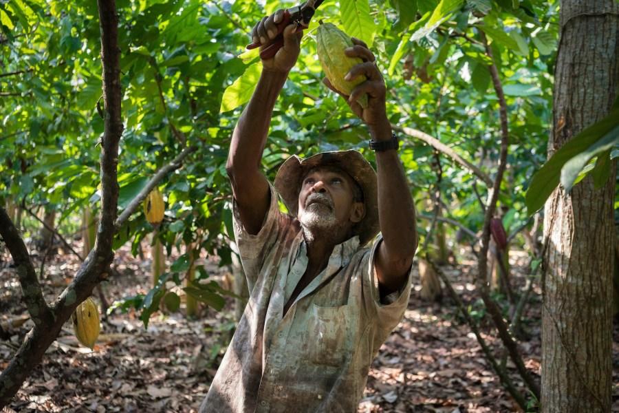 A small-scale farmer harvesting cacao in Colombia. Thomas Cristofoletti, USAID