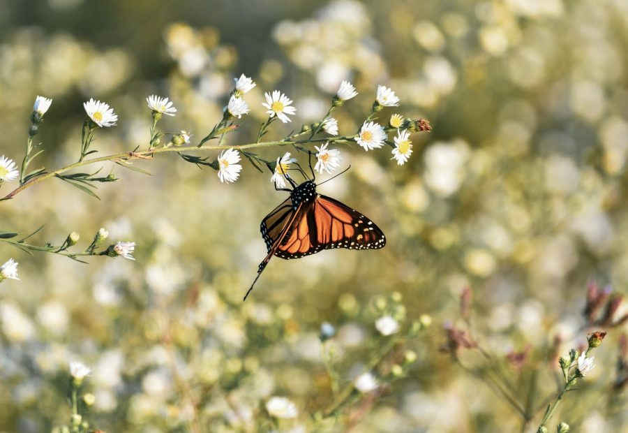 Butterflies, such as this monarch butterfly, are indicators of the overall health of biodiversity in an area. taylor_smith, Unsplash