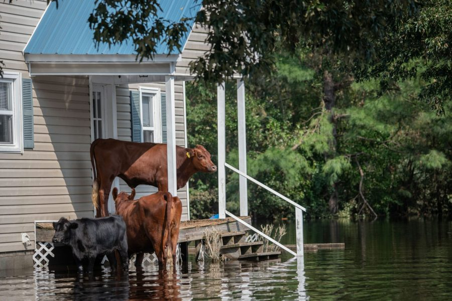Cows stranded on a porch in North Carolina following flooding from Hurricane Florence in 2018. weanimalsmedia, Unsplash