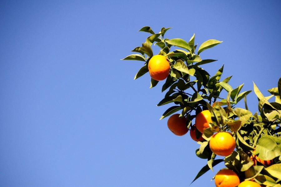 Could oranges be a new source of renewable energy? Kamil Porembiński, Flickr