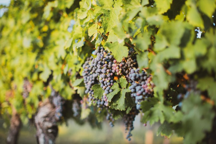 The devastation of French vineyards has raised alarms over the future effects of climate change. farber, Unsplash
