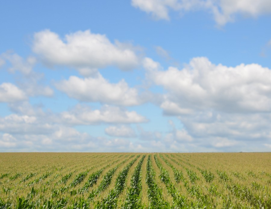 Corn and soy are the two major crops grown in the Midwest. Richard Hurd, Flickr