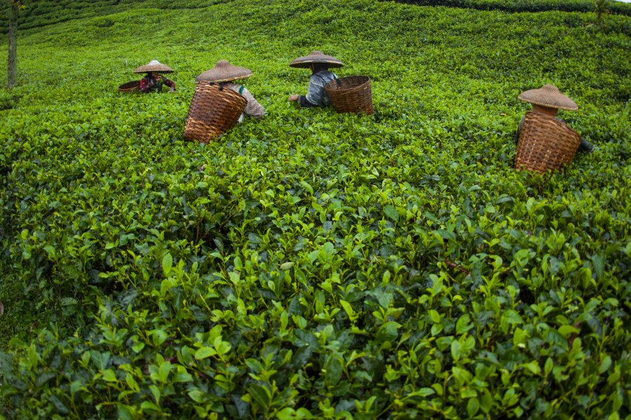 Local tea pickers in West Java, Indonesia, take part in a social forestry system that gives them more financial benefits from their managed landscapes. Aulia Erlangga, CIFOR
