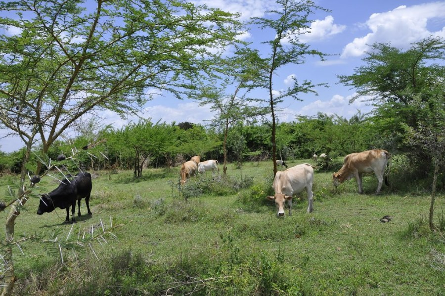 Cows grazing on a farm restored with FMNR in Homa Bay County, Kenya. Courtesy of Regreening Africa