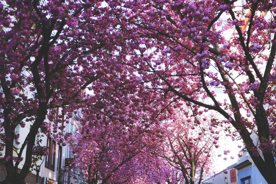 An alley of cherry blossoms in bloom in Bonn, Germany. Tim Rüßmann, Unsplash