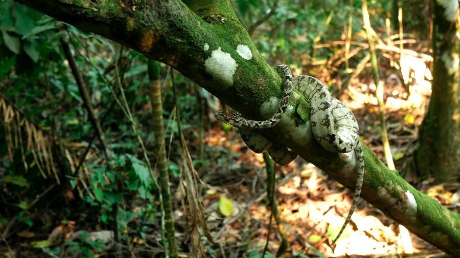 Boa arborícola amazónica en el Parque nacional del Manu, Perú. Ulrike Langner,Unsplash