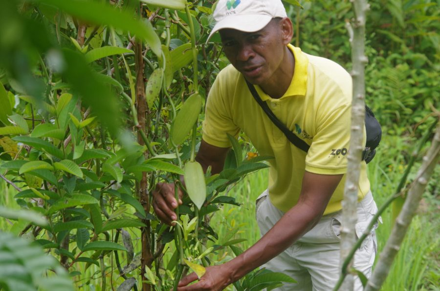 Felix in October 2020, planting vanilla, cloves and other fruit plants in the forest.  WCS Madagascar