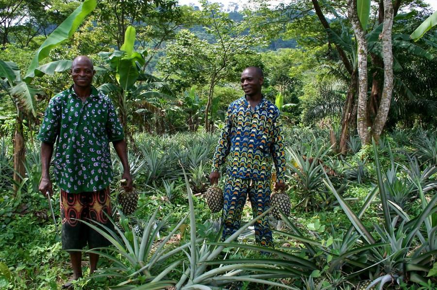Dos hombres cosechan piñas en Nigeria. Terry Sunderland,CIFOR