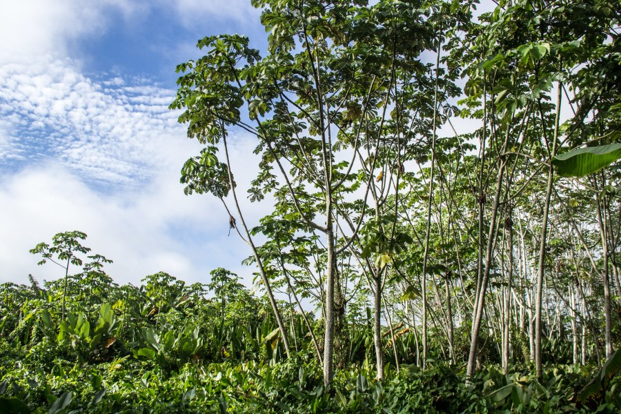 Forest is regenerated through agroecological practices in the Nueva Ahuaypa Indigenous community. Juan Carlos Huayllapuma, CIFOR