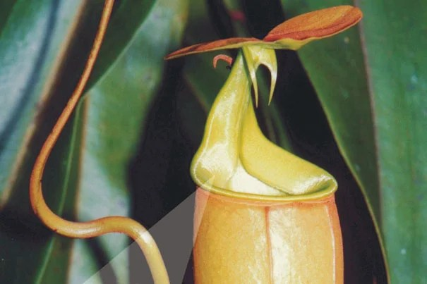 The pitcher plant takes a fundamentally different approach. Instead of using burrlike, air-filled nanostructures to repel water, the plant locks in a water layer, creating a slick coating on the top. In short, the fluid itself becomes the repellent surface.