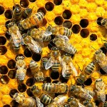 """The significance of bees to agriculture cannot be underestimated,"" says Alex Lu, associate professor of environmental exposure biology. ""And it apparently doesn't take much of the pesticide to affect the bees. Our experiment included pesticide amounts below what is normally present in the environment."""