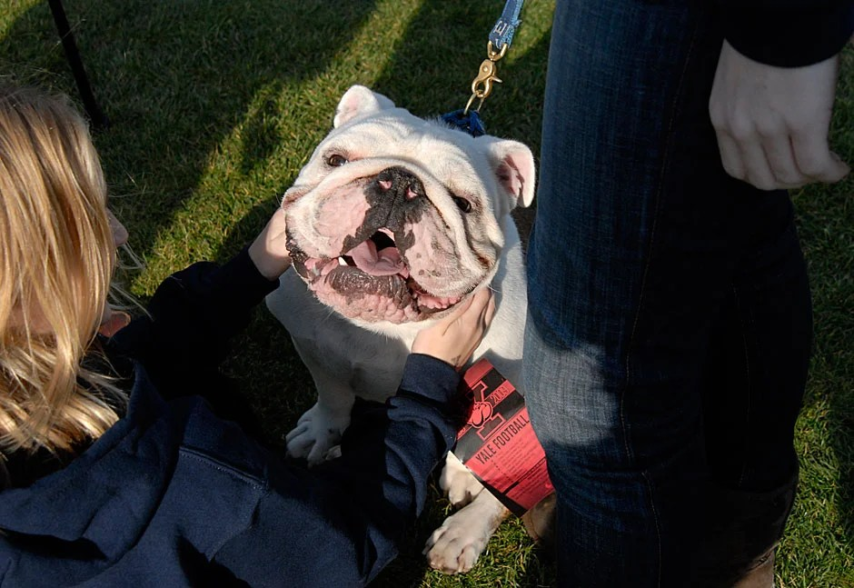 Handsome Dan XVII, the Yale bulldog, sits for an impromptu portrait. Handsome Dan is part of a long-standing tradition dating back to 1889, when Yale's Handsome Dan I became the first live college mascot in America. Handsome Dan XVII is a bit of a celebrity and has been photographed with former President George Bush and Paul McCartney of the Beatles.