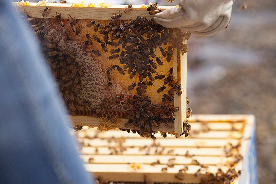 Li Murphy '15 holds up a section of the hive.