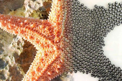 Just as single cells can assemble into complex multicellular organisms, the individual Kilobots can follow simple rules to autonomously assemble into predetermined shapes. The vast scale of this swarm is a milestone in itself. (Photo courtesy of Mike Rubenstein, Harvard SEAS.)