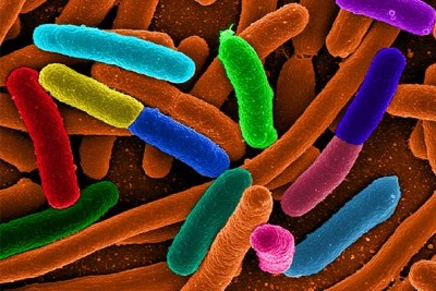 In a recent study, Wyss Institute researchers genetically modified E. coli bacteria to produce up to 30-fold more quantities of chemicals at a thousand-fold faster rate than previously possible.