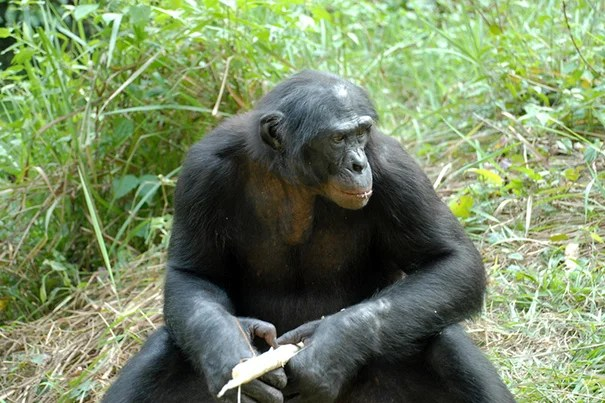 A new study, authored by Collin McCabe, a doctoral student in Harvard's Department of Human Evolutionary Biology, suggests that increased exposure to disease has played an important role in the evolution of culture both in humans and in non-human primates.