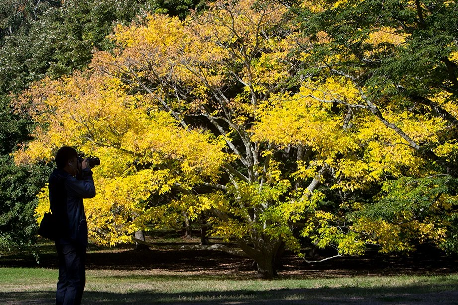 A photographer captures the fall foliage at Arnold Arboretum. Rose Lincoln/Harvard Staff Photographer