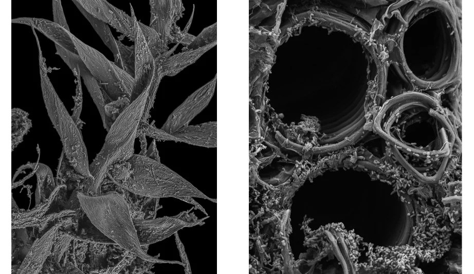 Moss shoot (left) and xylem of an infected squash plant, both imaged using a scanning electron microscope. Photos by Scott Chimileski