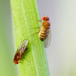 New study reveals how male fruit fly decides to court or ignore female