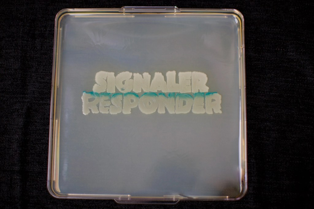 a plate containing the signaler bacteria S. Typhimurium and the responder E. coli,