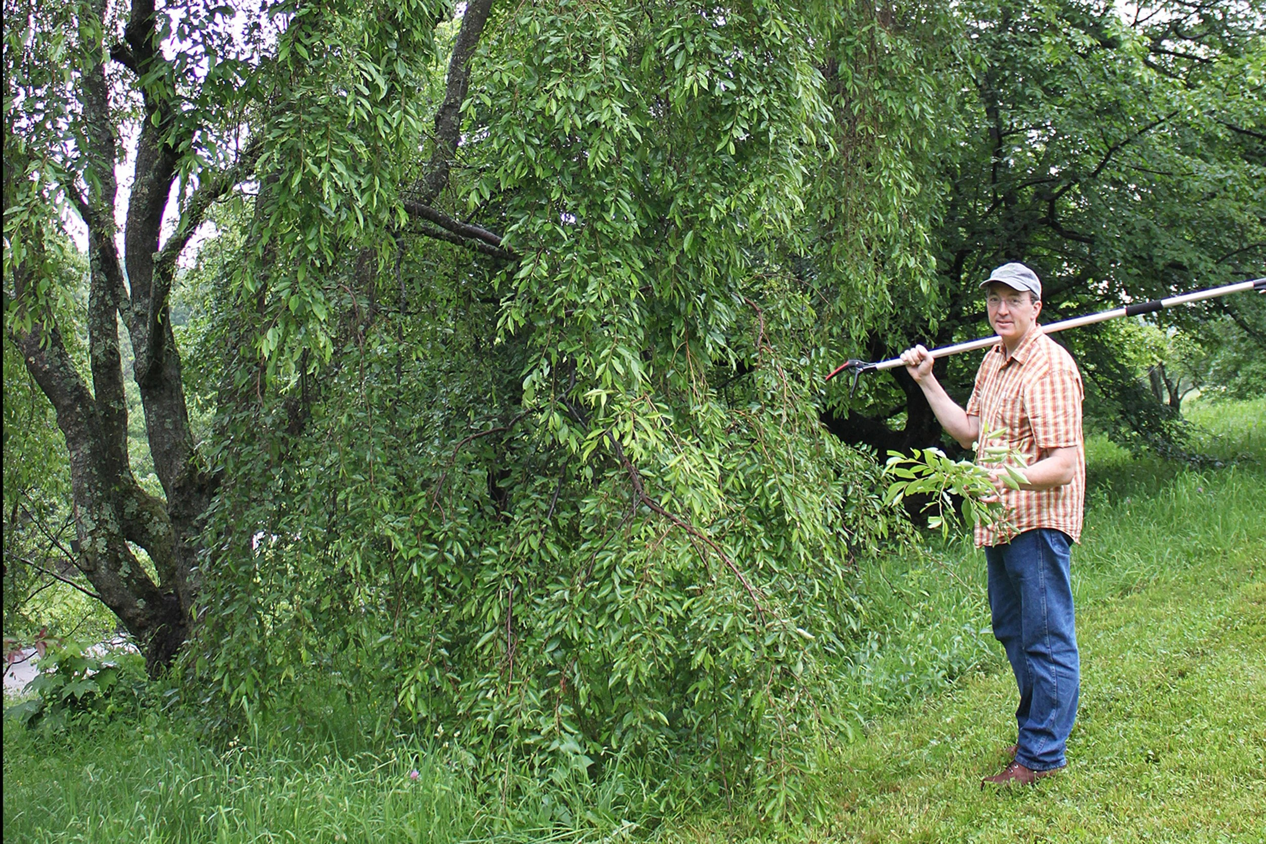 Andrew Groover, U.S. Forest Service research geneticist uses a pole pruner at the Arnold Arboretum to collect small samples of genetic material from the willows (Salix) collection