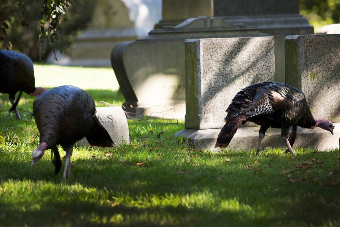 Three wild turkeys grazing in Mount Auburn Cemetery.