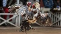 Sabung Ayam Berujung Maut, Ayam Jago Tusuk Pemiliknya Sendiri Sampai Tewas