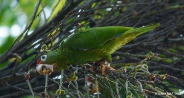 The Puerto Rican Parrot: Rescued from Extinction