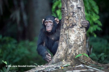 Tchimpounga's Chimpanzee of the Month: Jack!
