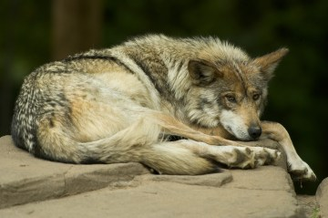 Mexican Gray Wolves: The Endangered Wolf You've Never Heard Of