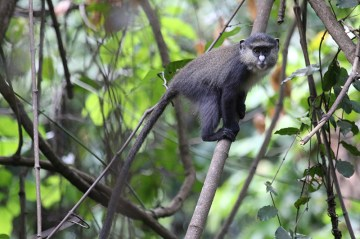 Chimps in Gombe Teach Us So Much…What About Monkeys?