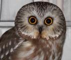 birdsofprey-owl