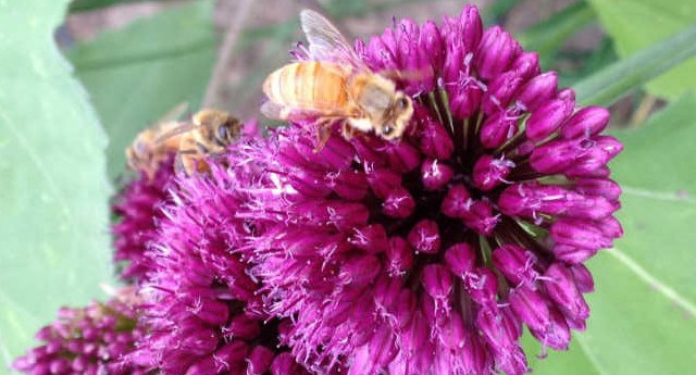 bees pollenating