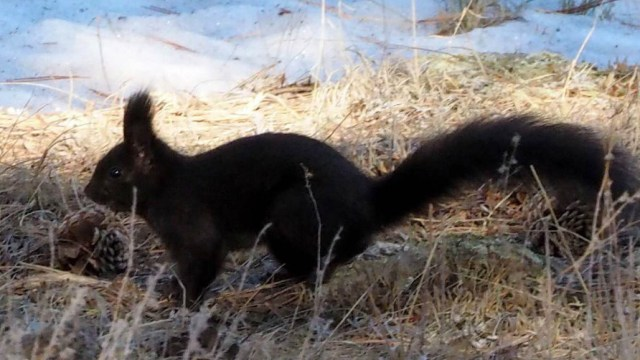 Abert's Squirrels