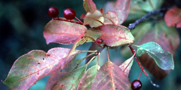 Prunus_virginiana