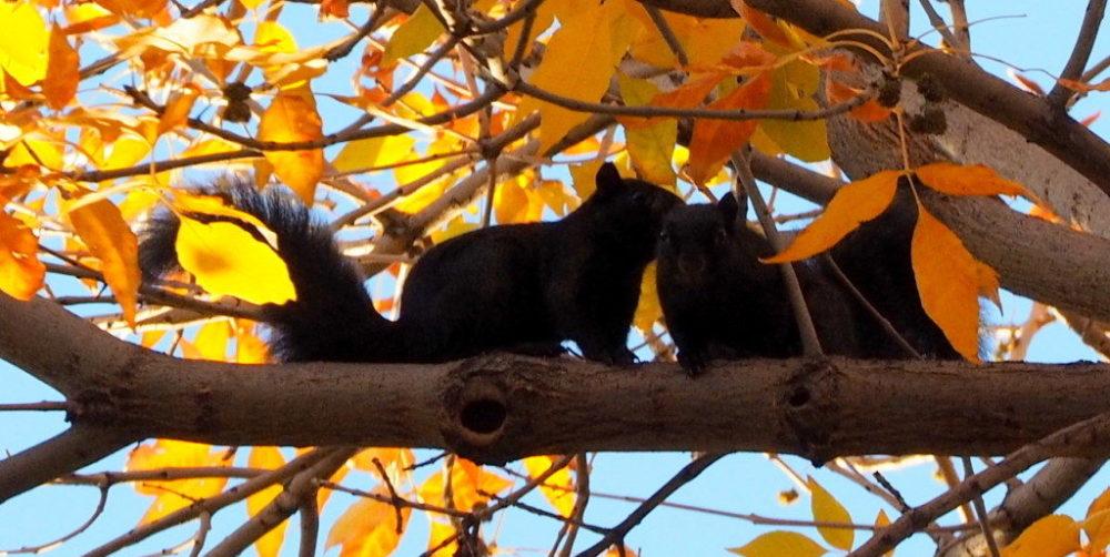 Black Fox Squirrels
