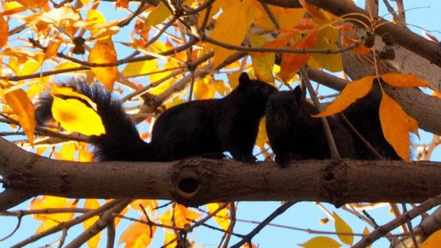 Black Fox Squirrels