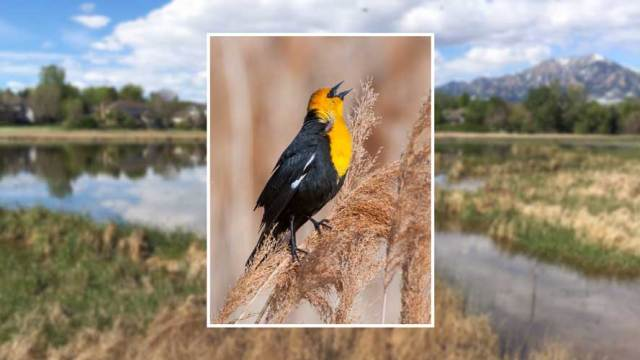 yellow headed blackbird