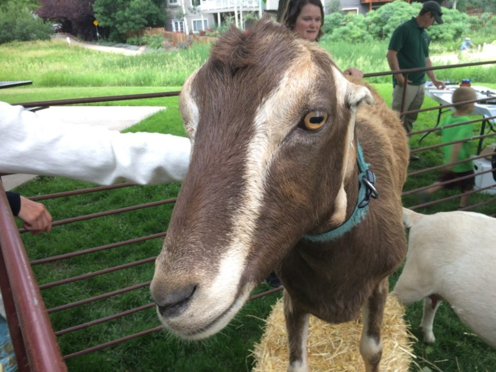 Goats as Weed Control in Boulder